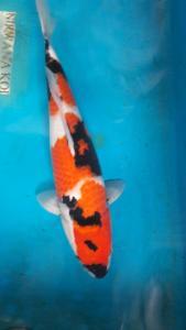 113-Perdanakoi-alimubin-blitar-showa 48cm