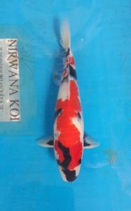 110-Perdanakoi-alimubin-blitar-showa 30cm