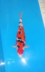 574-Jodi-blitar-jpp koi-blitar-sanke-39 cm
