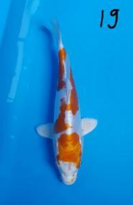 582-Oma koi- Oma koi- malang- kikushui-19 cm