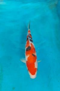 109-Perdanakoi-alimubin-blitar-sanke-25cm