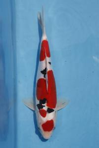 375-verrell- ciamis-ciamis koi centr-ciamis-doitsu-34cm