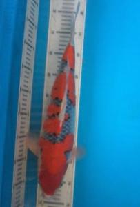 079-Alex Koi  Blitar .. Handling Alex Koi  Blitar .. Goshiki.. 48 cm